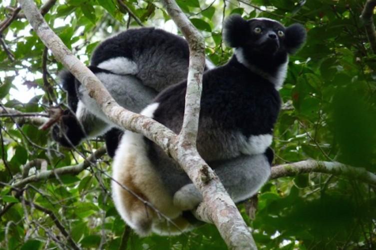 Les lémuriens «Indri-indri» menacés de disparition