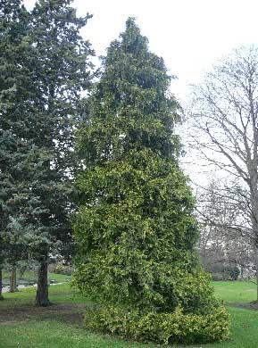 Les cyprès sont un genre d'arbres sempervirents de la famille des